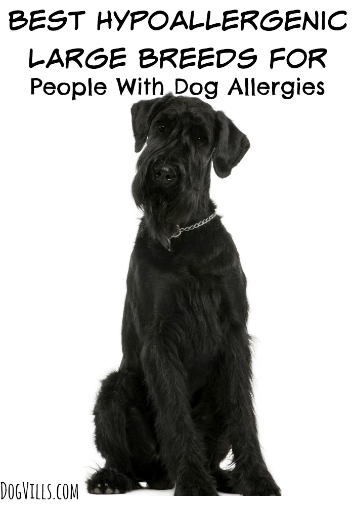 Best Hypoallergenic Large Breeds For People With Dog Allergies