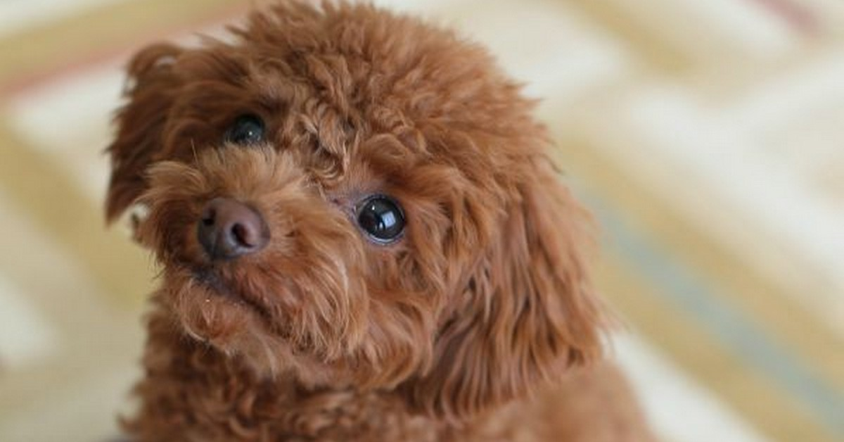 Best Small Non Shedding Dogs For Kids