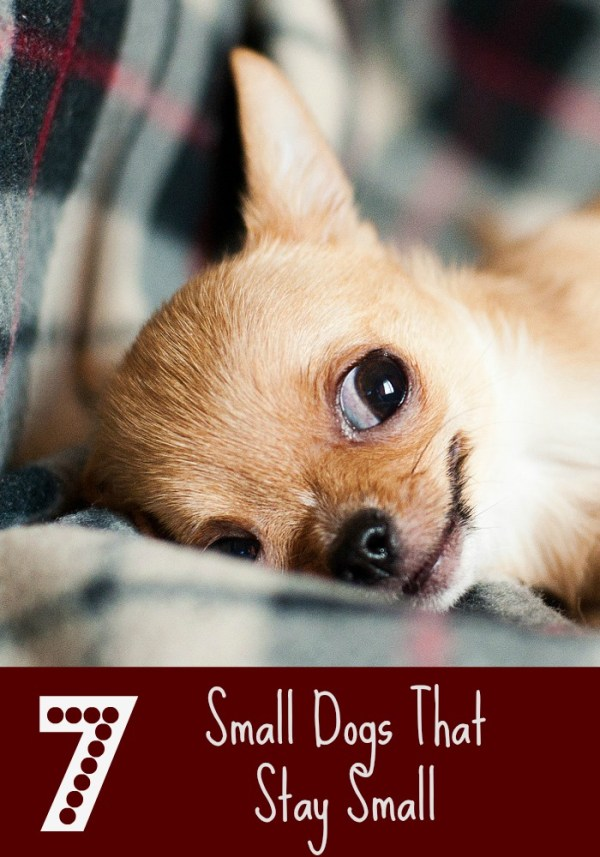 7 Small Dogs That Stay Small - DogVills