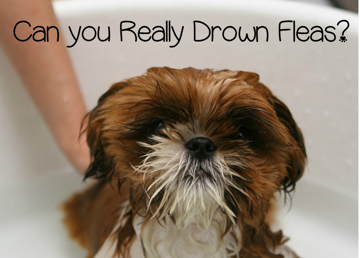Can You Kill Fleas On a Dog By Immersing It In Water?