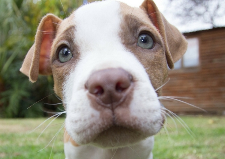 What Look Pit Bulls