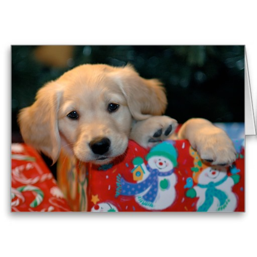 Boxing Day Golden Retriever Puppy Photo And Wallpaper