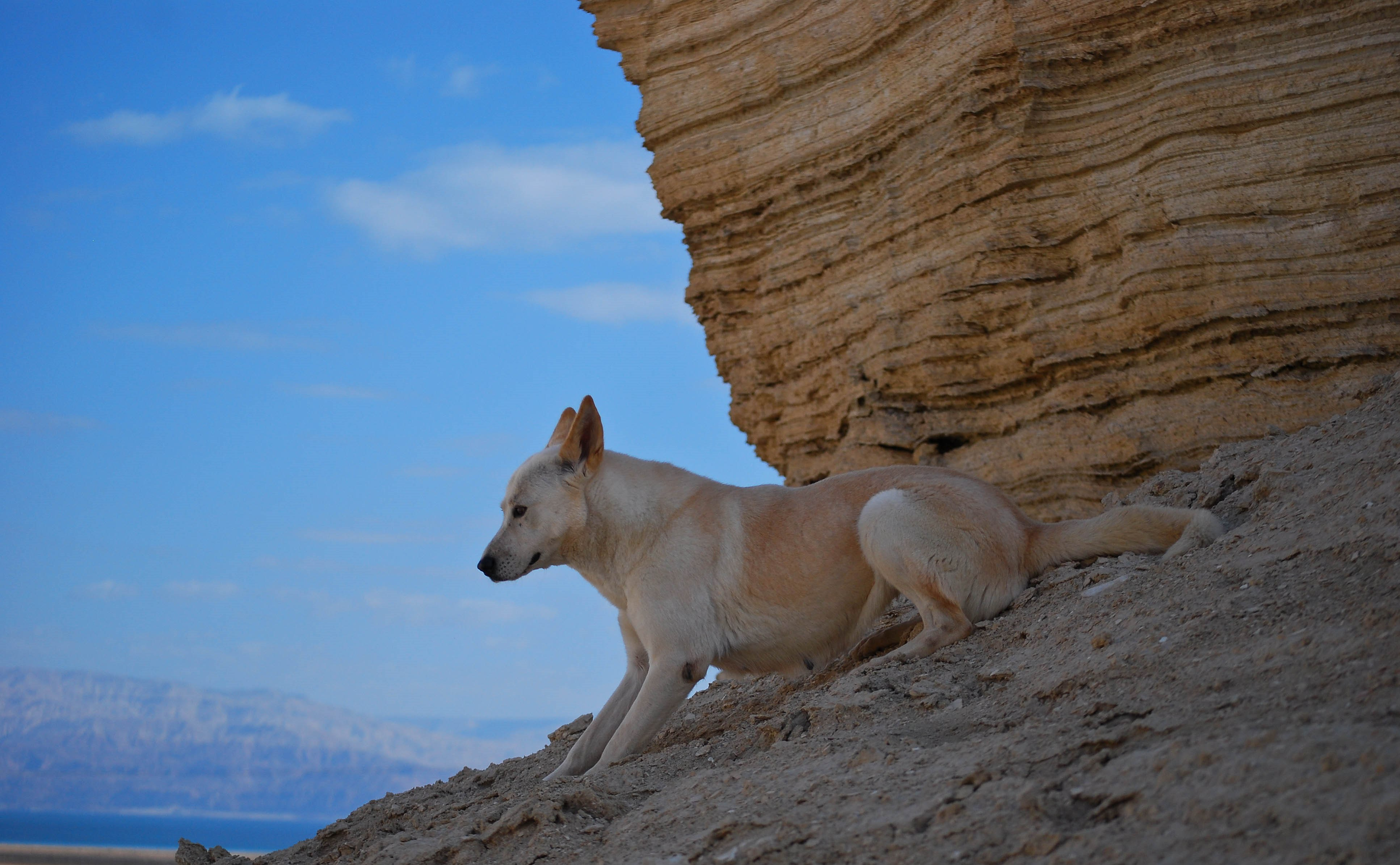 Canaan Dog photo and wallpaper Beautiful Canaan Dog pictures
