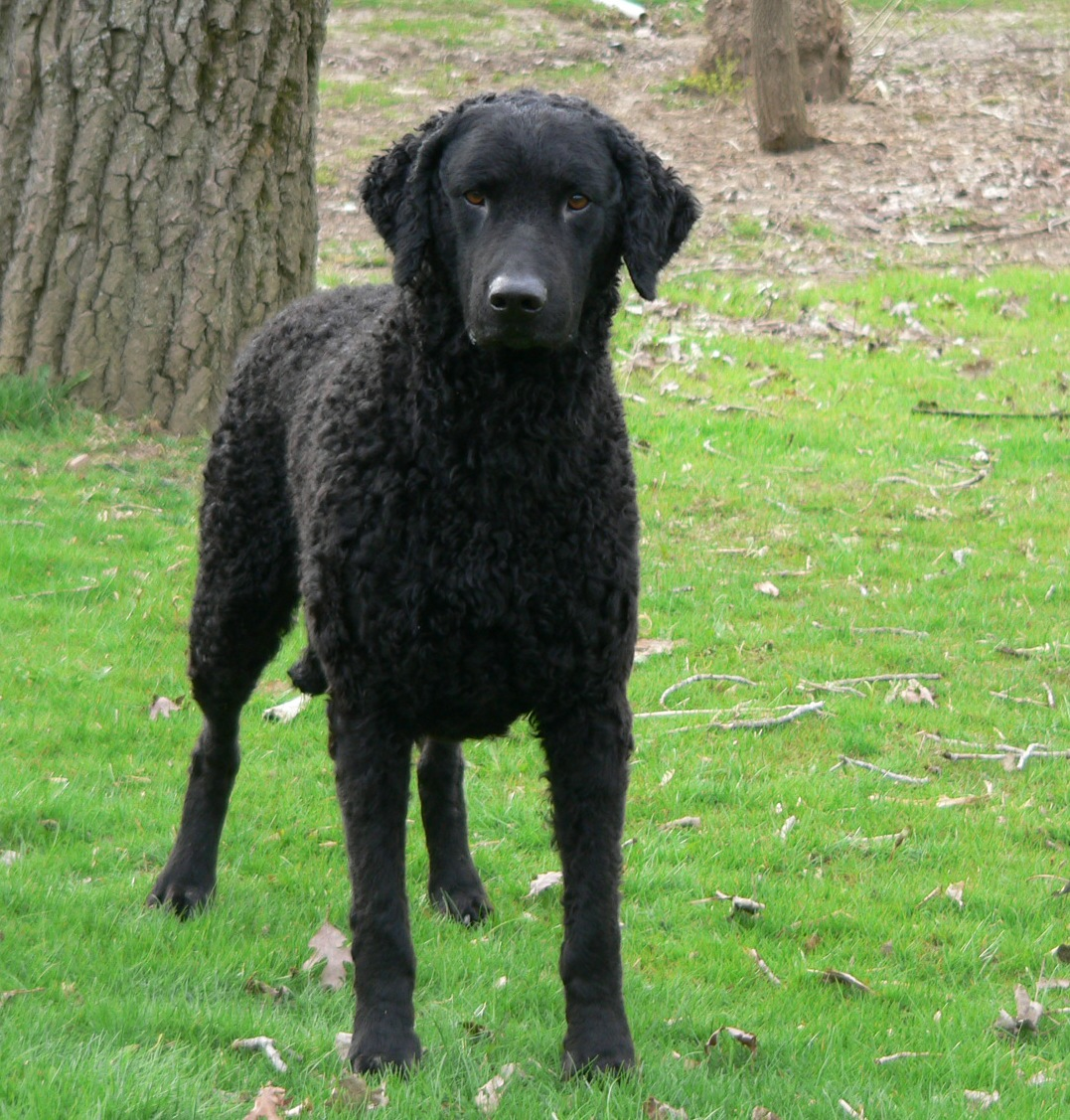Cute Chow Chow Wallpapers Cute Curly Coated Retriever Dog Photo And Wallpaper