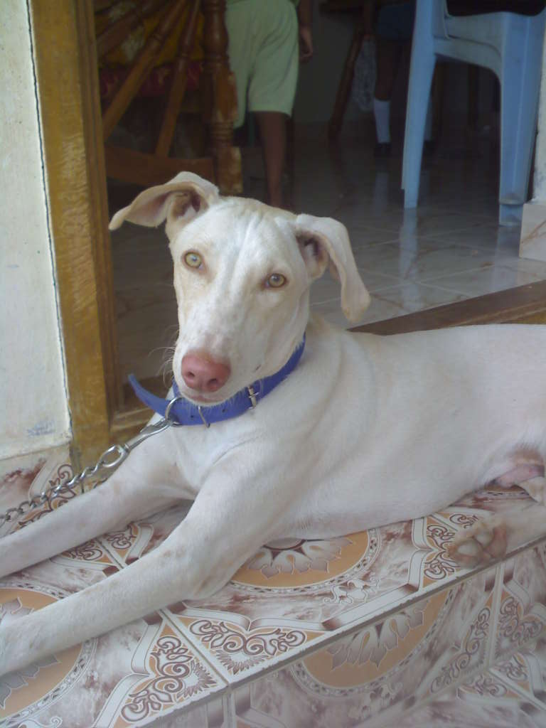 Desktop Wallpaper Of Cute Puppies Cute Rajapalayam Dog Photo And Wallpaper Beautiful Cute