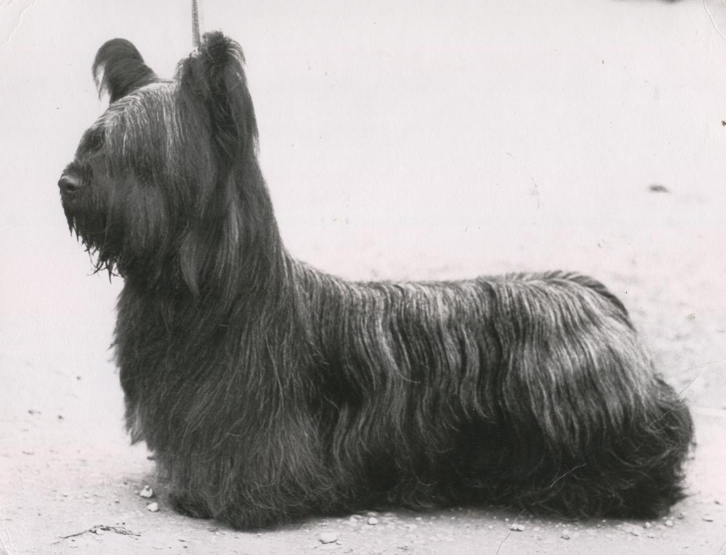 Cute Wallpapers For The Letter T Cute Skye Terrier Dog Photo And Wallpaper Beautiful Cute