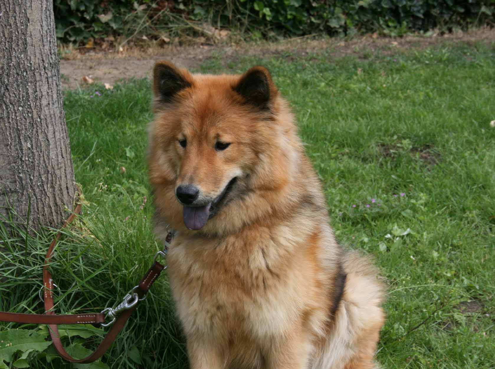 Cute Wallpaper Images For Desktop Eurasier Dog On The Grass Photo And Wallpaper Beautiful