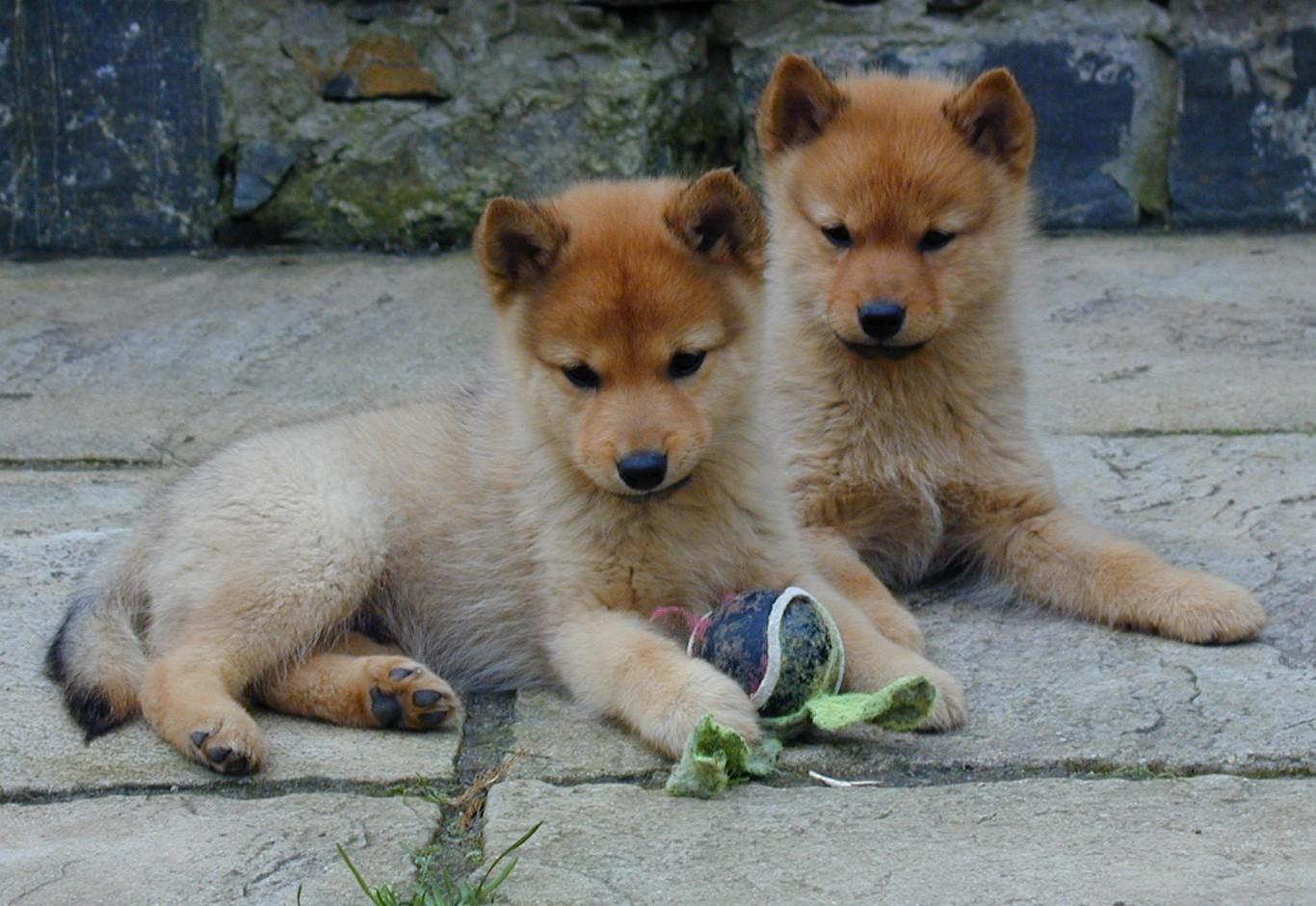 Cute Pomeranian Puppies Wallpaper Finnish Spitz Puppies Photo And Wallpaper Beautiful