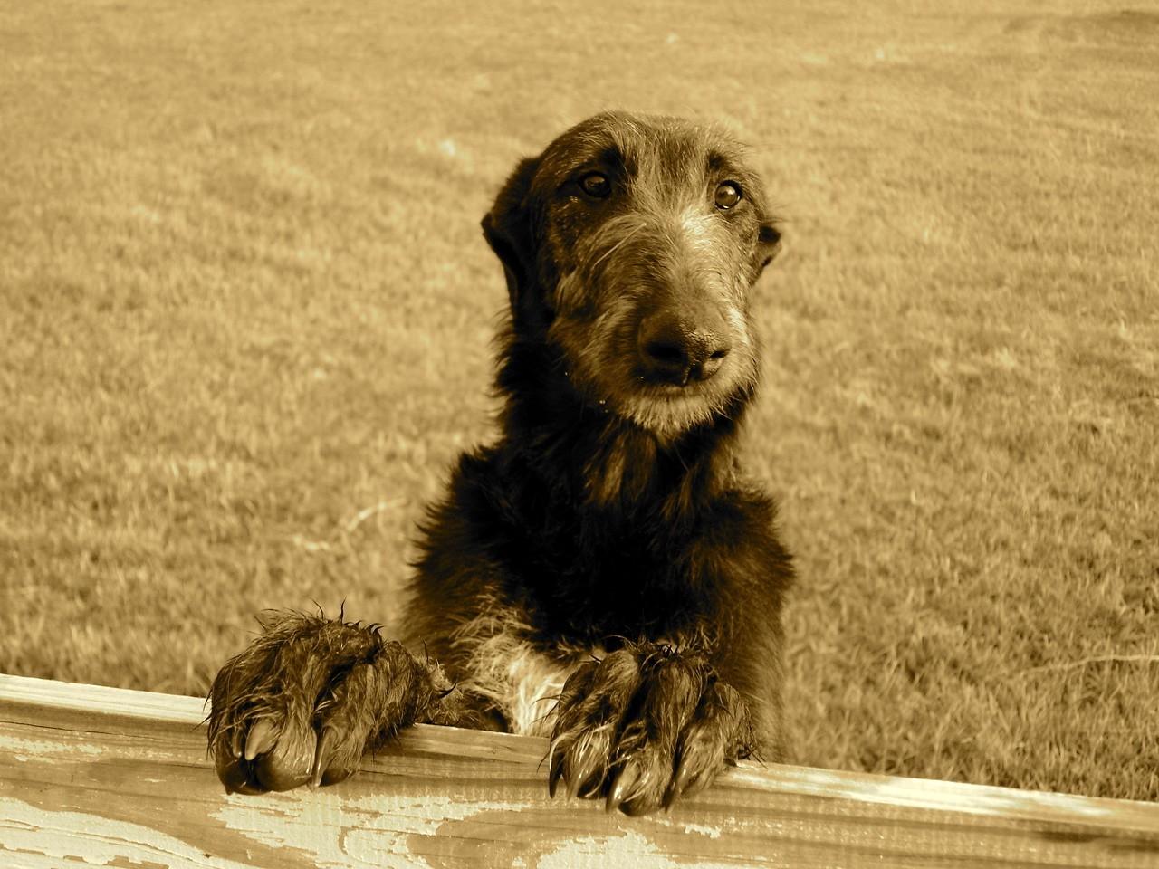 Cute Beagle Puppy Wallpaper Funny Scottish Deerhound Dog Photo And Wallpaper
