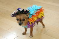 Halloween Chihuahua dog photo and wallpaper. Beautiful