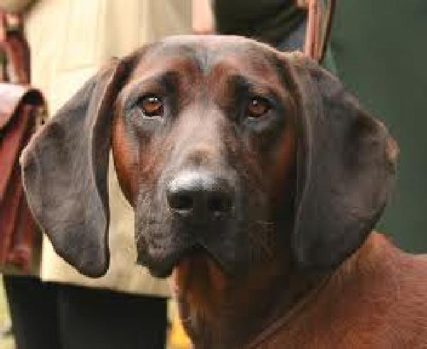 Saint Cute Puppy Hd Wallpaper Hanover Hound Dog Face Photo And Wallpaper Beautiful