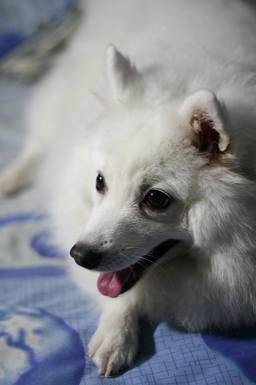 Cute Lovely Pictures And Wallpapers Japanese Spitz Photos And Wallpapers The Beautiful
