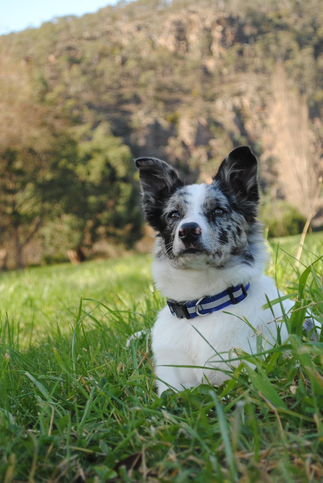 Cute Korean Wallpapers Desktop Koolie Dog On The Grass Photo And Wallpaper Beautiful
