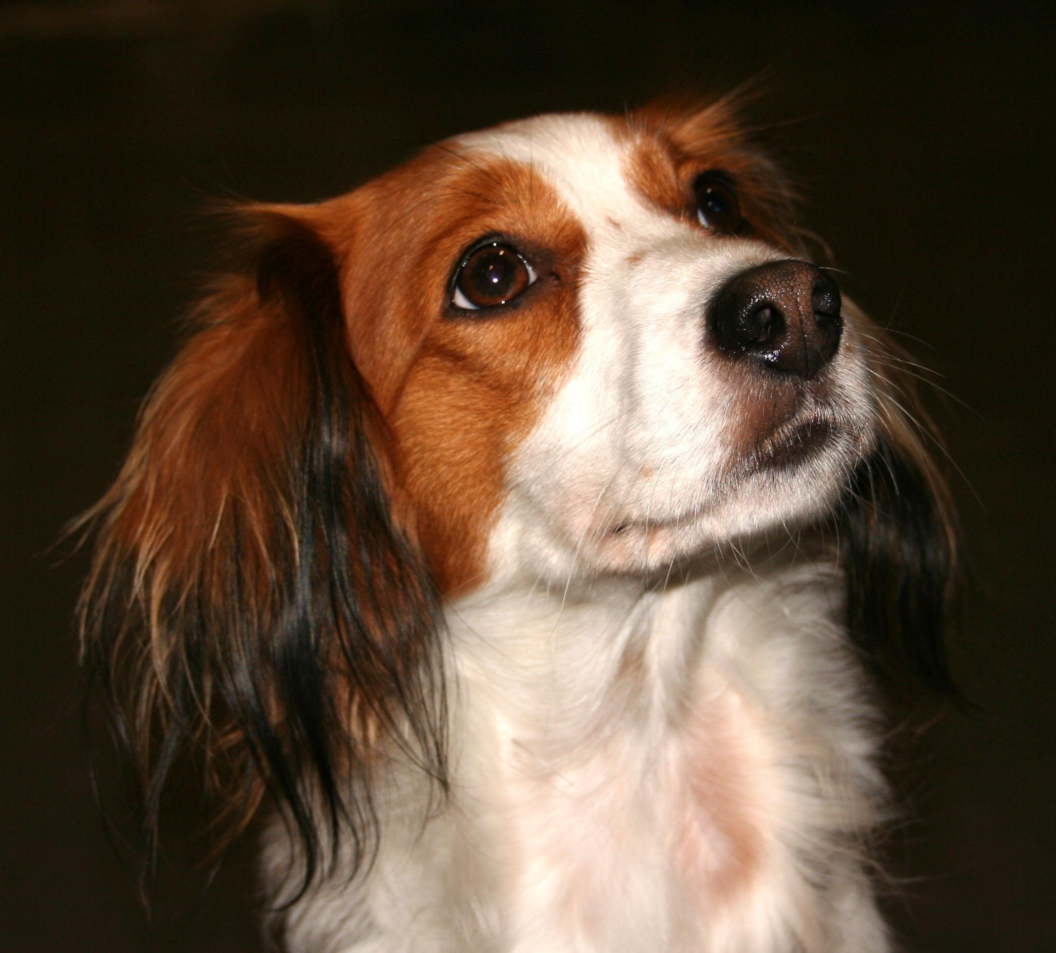 Cute N Lovely Wallpapers Lovely Kooikerhondje Dog Photo And Wallpaper Beautiful