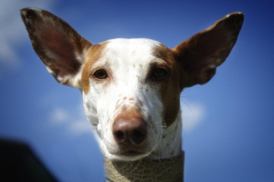 Cute Pug Wallpaper For Desktop Podenco Canario Face Photo And Wallpaper Beautiful