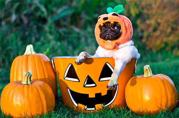 Fall Pug Wallpaper Pumpkin Pug Dog Photo And Wallpaper Beautiful Pumpkin Pug