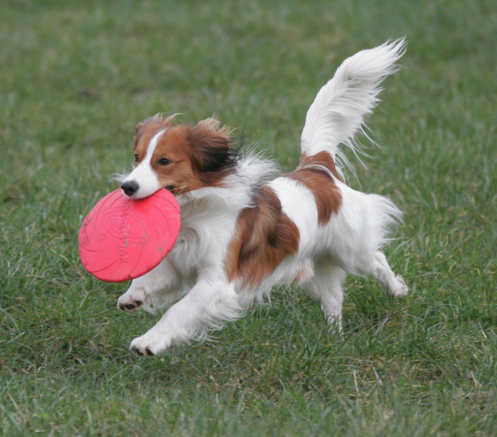 Cute Lovely Pictures And Wallpapers Running Kooikerhondje Dog Photo And Wallpaper Beautiful