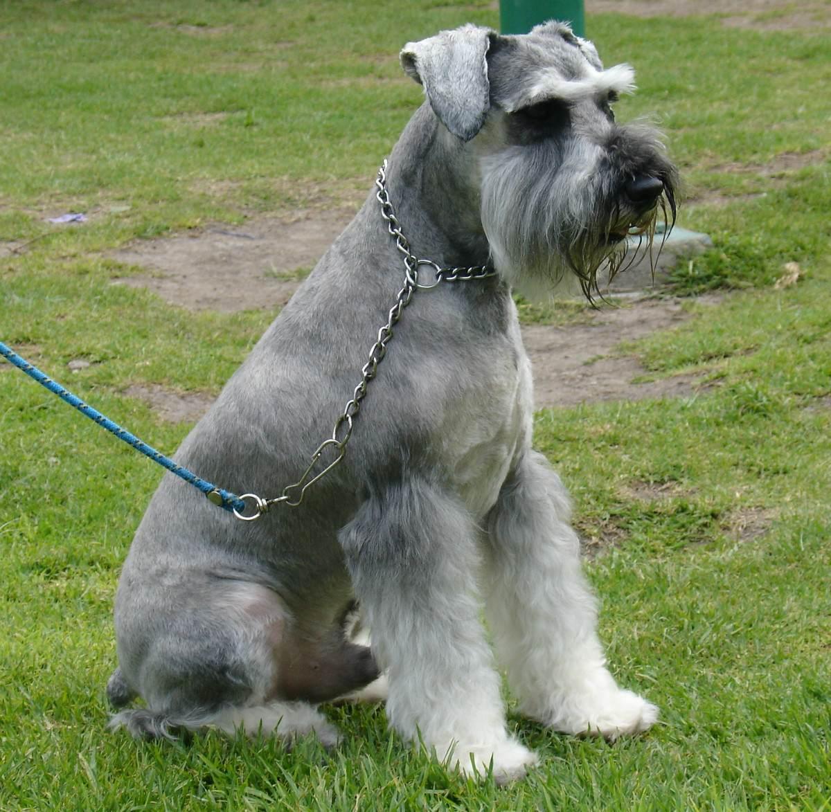 Saint Cute Puppy Hd Wallpaper Sitting Schnauzer Standard Dog Photo And Wallpaper