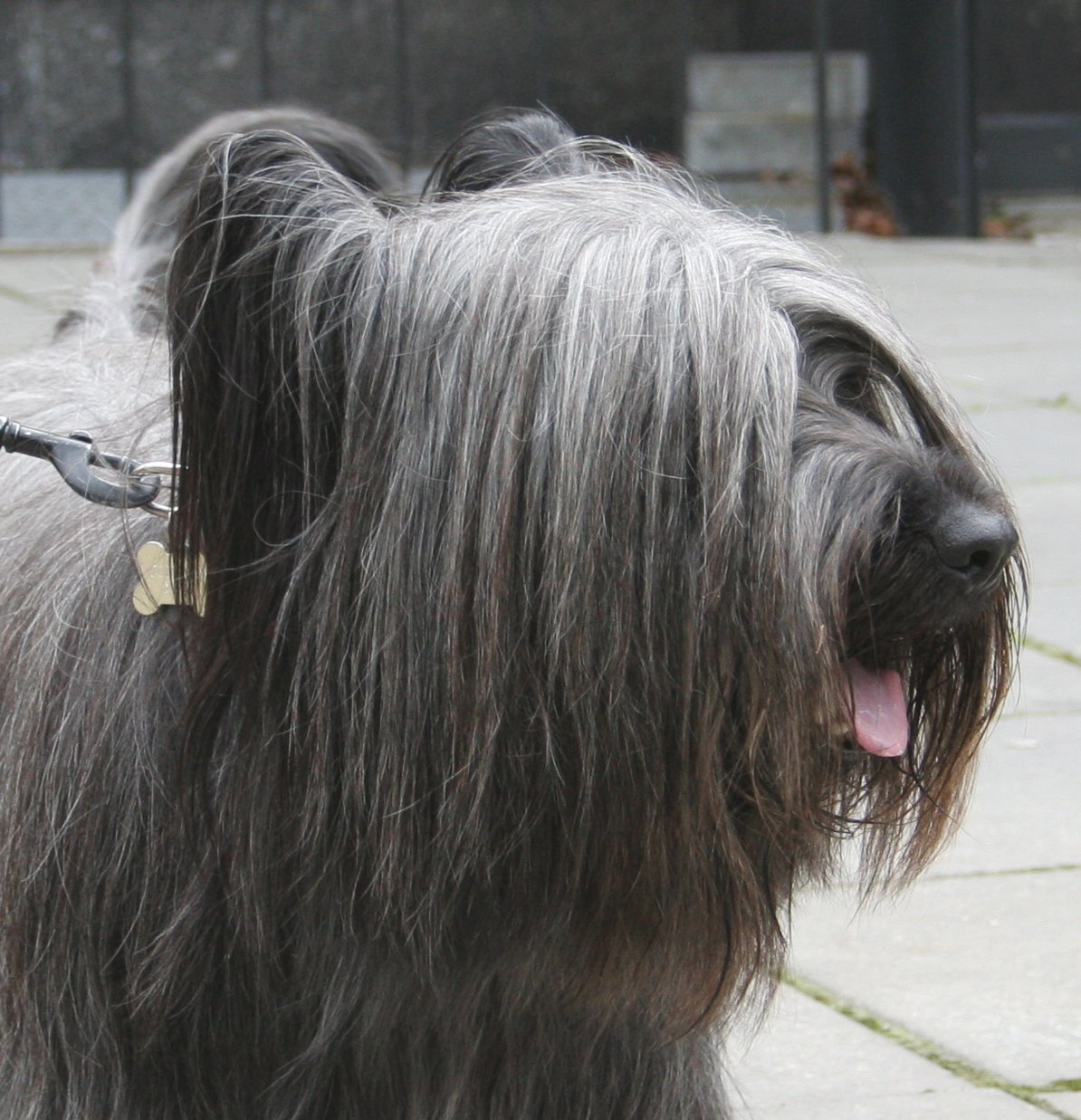Cute Wallpapers For The Letter T Skye Terrier Dog Face Photo And Wallpaper Beautiful Skye