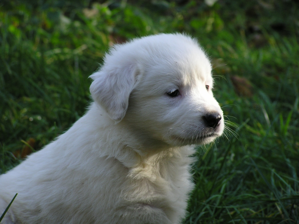Cute Lovely Pictures And Wallpapers Tornjak Puppy Photo And Wallpaper Beautiful Tornjak Puppy