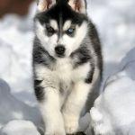 Walking Siberian Husky Dog Photo And Wallpaper Beautiful Walking Siberian Husky Dog Pictures
