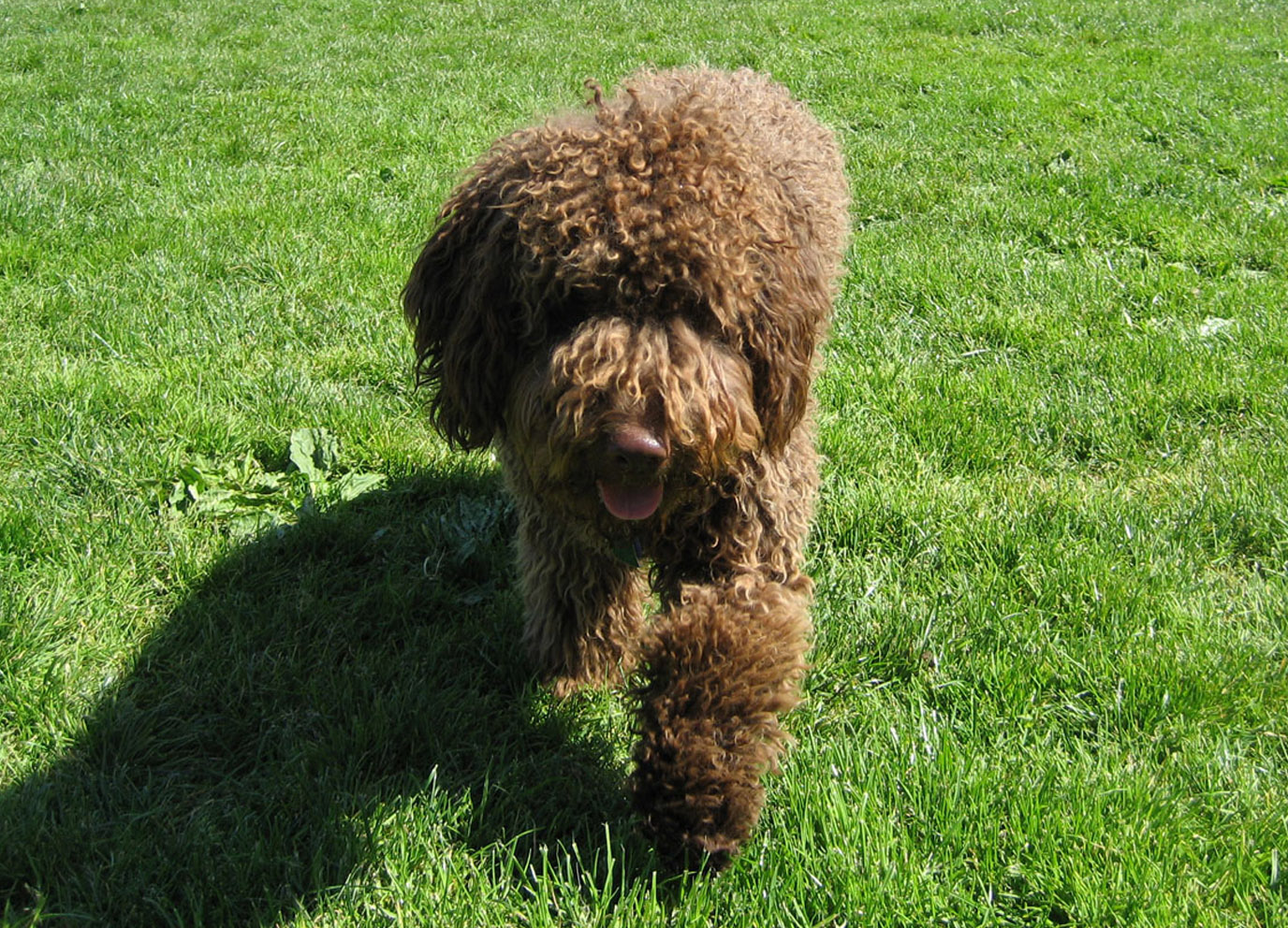 Spanish Water Dogs Spanish Water Dogs Pinterest