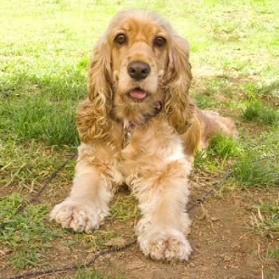 American Cocker Spaniel | Breeds | DogZone.com