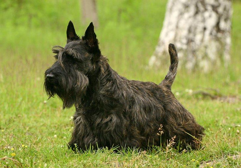 Scottish Terrier Breed Information. Characteristics & Heath Problems   DogZone.com