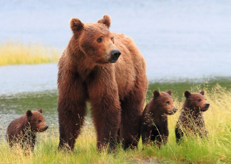 A large brown bear stands on a grassy riverbank with her three cubs.