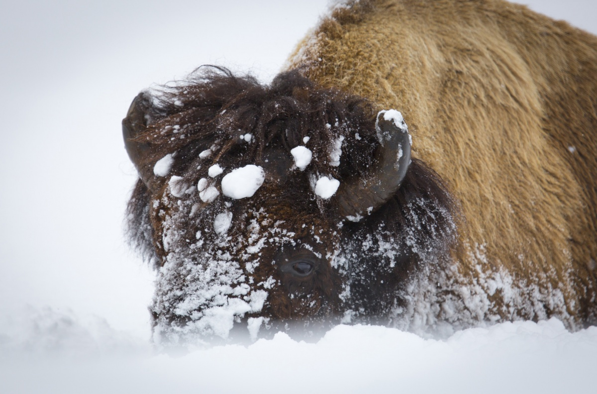 bison in the deep snow