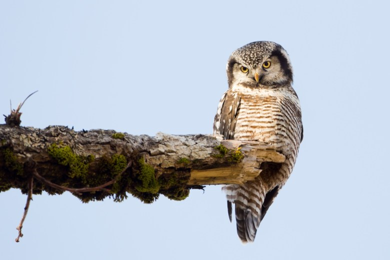 A northern hawk owl perches on the edge of a branch glaring towards something off camera.