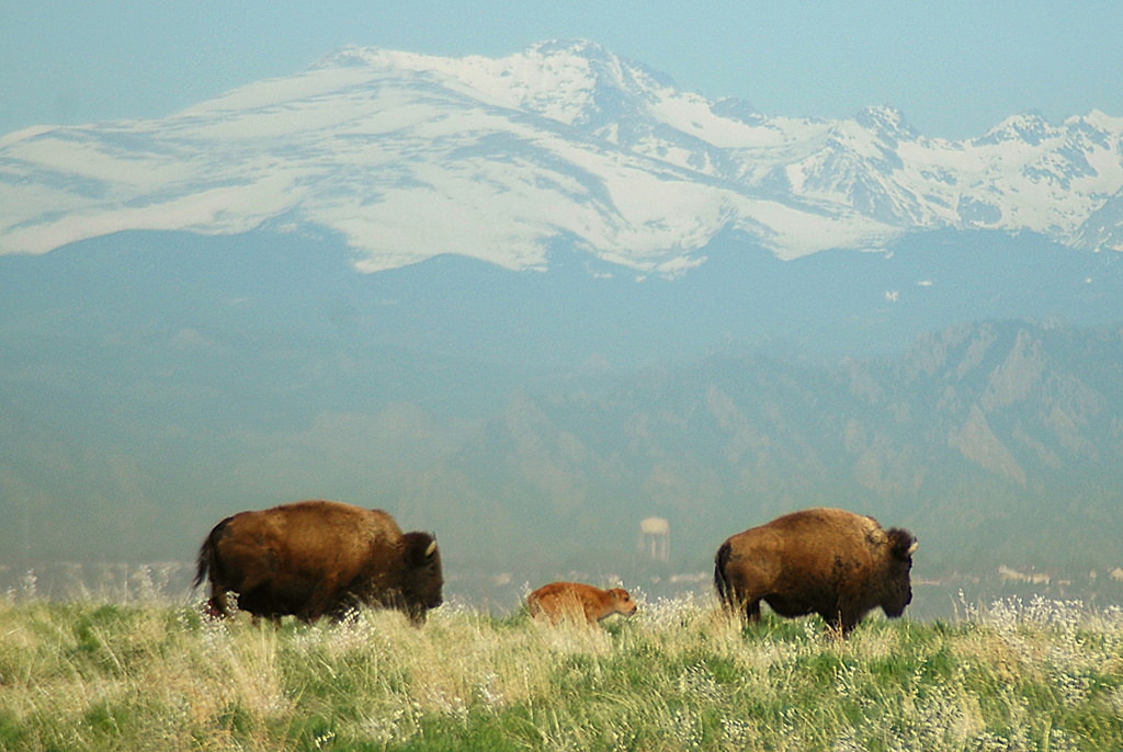 Two bison and a bison calf walking in a line.