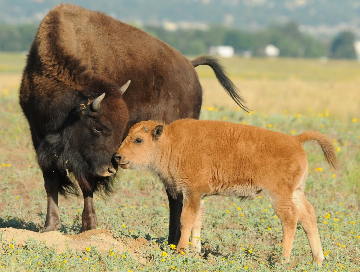 A bison and calf nuzzle each other.