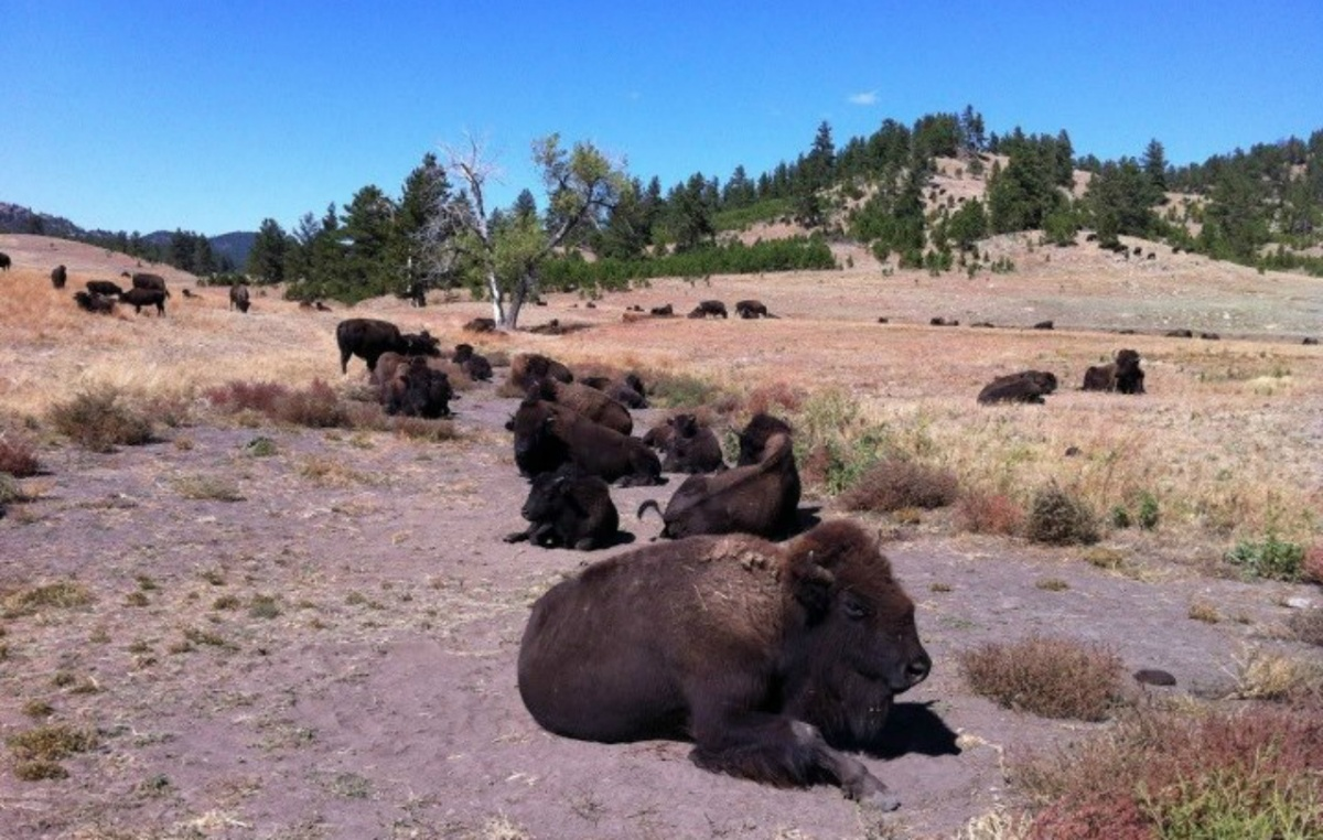 A small herd of bison lounging in the dirt.