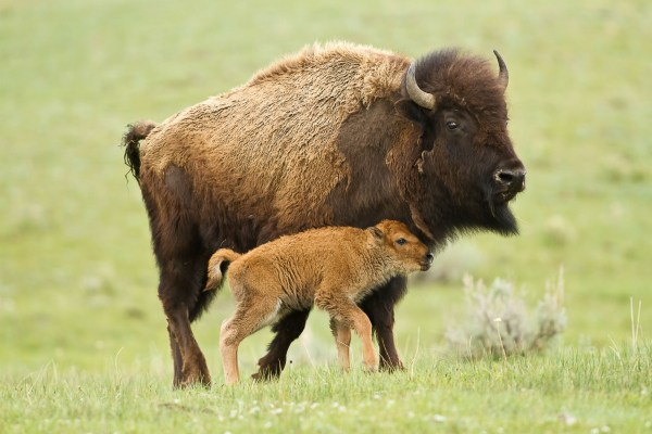 15 Facts About Our National Mammal The American Bison U