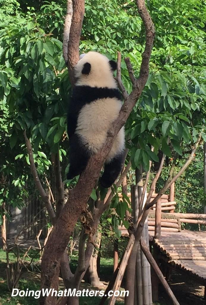 baby-panda-sleeping-china2016