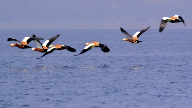 DSC_2563 - Ruddy shelduck