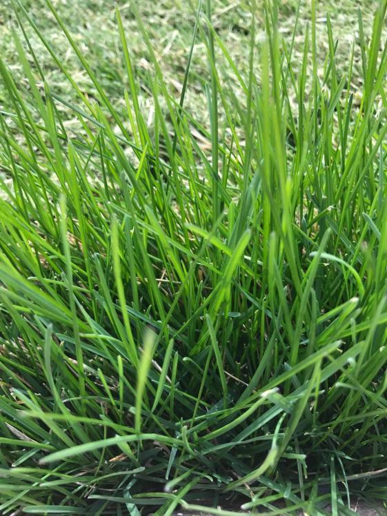 Help Identify This Cool Season Grass
