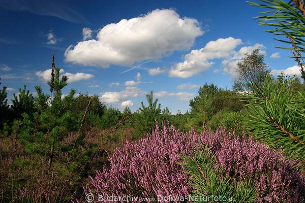 Wolken Wattewolke ber Heidestrauch blhend in