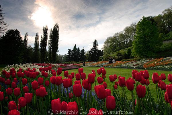 Schner Mainau InselGarten in Foto vor Sonne rote Tulpen