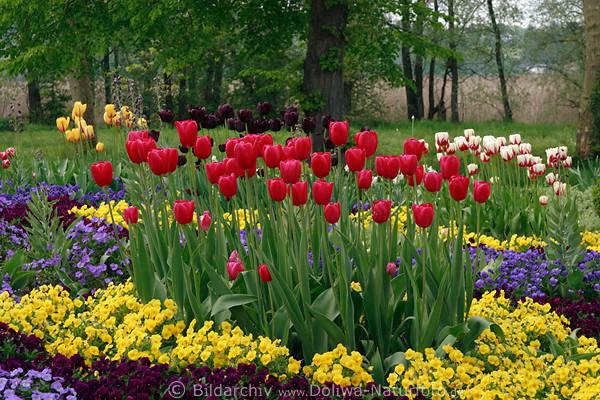 TulpenVeilchen Beete Foto Gartenbeete Gartenrabatte in