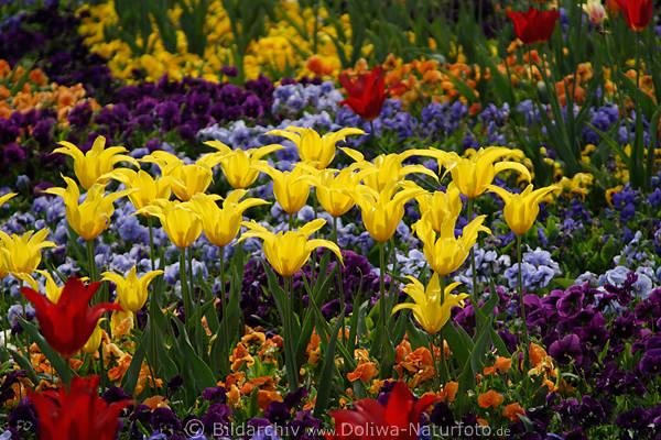 Gelbtulpen Blumenrabatte Foto gelbrote Tulpen Mai