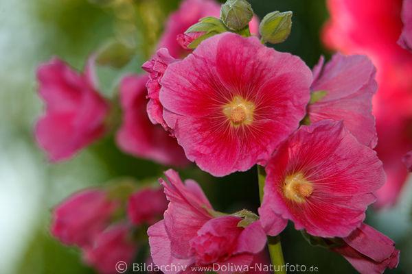 Gartenmalve rosarot lila Malveblten Bild in Garten am