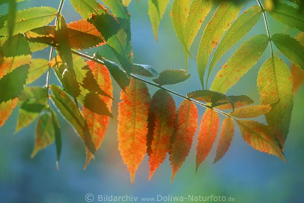 Herbstliche Bltter der Esche Eschebltter Foto abstrakt