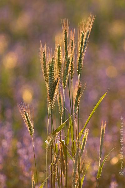 Getreide hren SgrserRomantik Naturfoto Roggen Grannen Glanzlichter in Gegenlicht