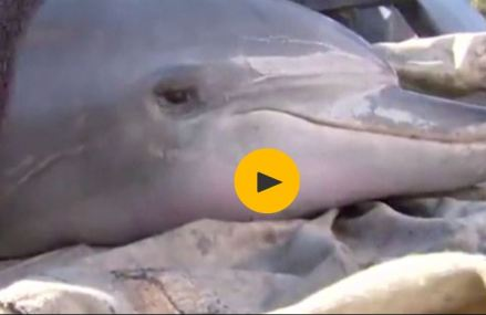 Exhausted dolphins rescued from shallow lake in Western Australia