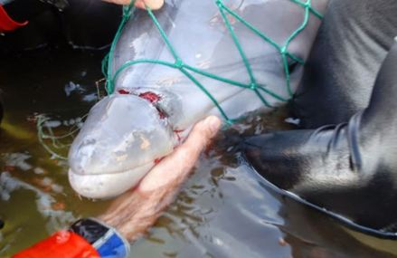 What it takes to rescue a dolphin calf