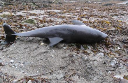 Dolphins are mysteriously washing up on Cornish beaches in greater numbers