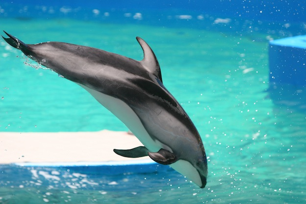 Pacific white-sided dolphin facts