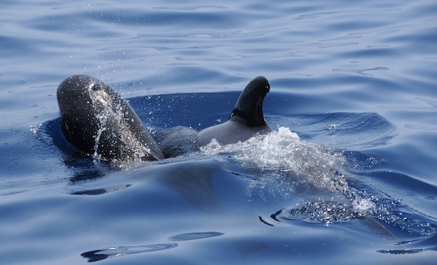 Information about Pilot whales